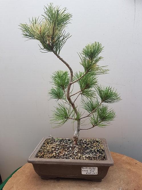 2823 White Pine