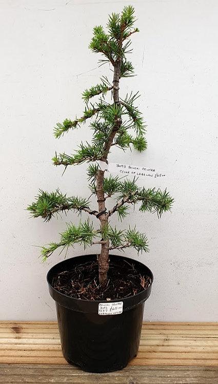 3093 Cedar of Lebanon