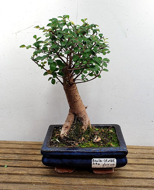 3194 Chinese Elm