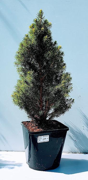3636 Picea