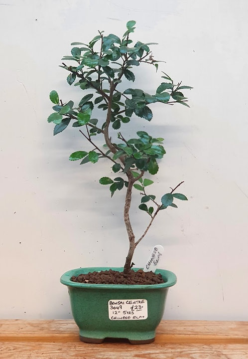 3049 Chinese Elm