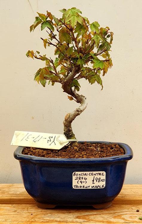 2874 Trident Maple