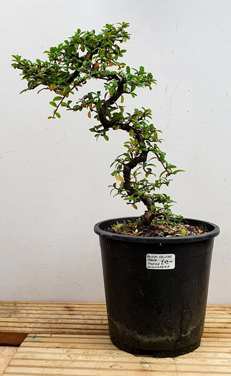 3307 Cotoneaster