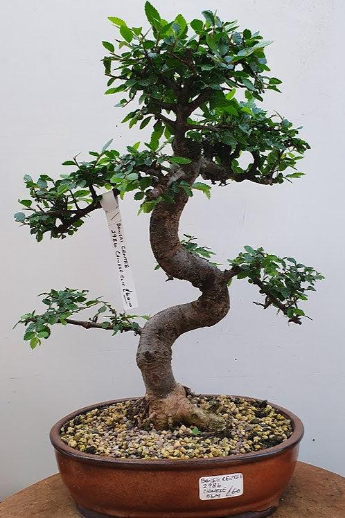 2986 Chinese Elm