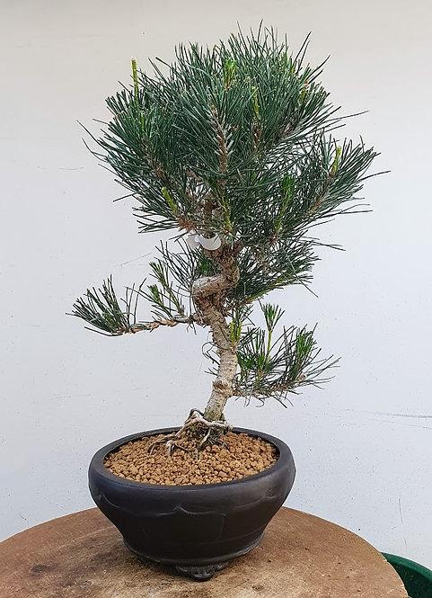 2583 Black Pine