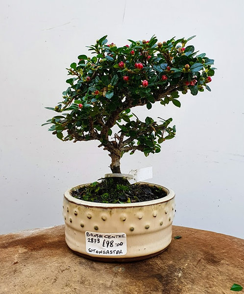 2873 Cotoneaster