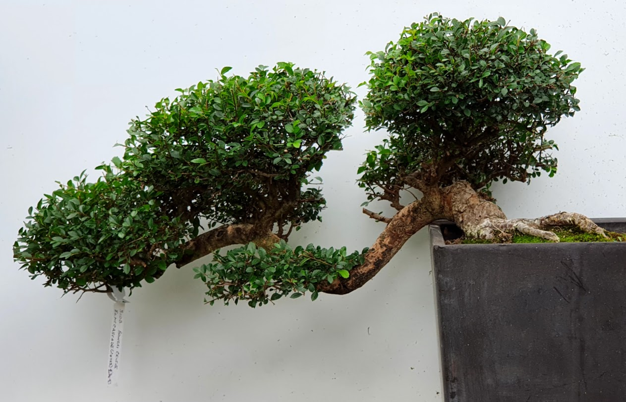 3108 Chinese Elm
