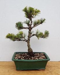 2470 European White Pine