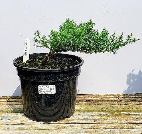 3503 Juniper procumbens