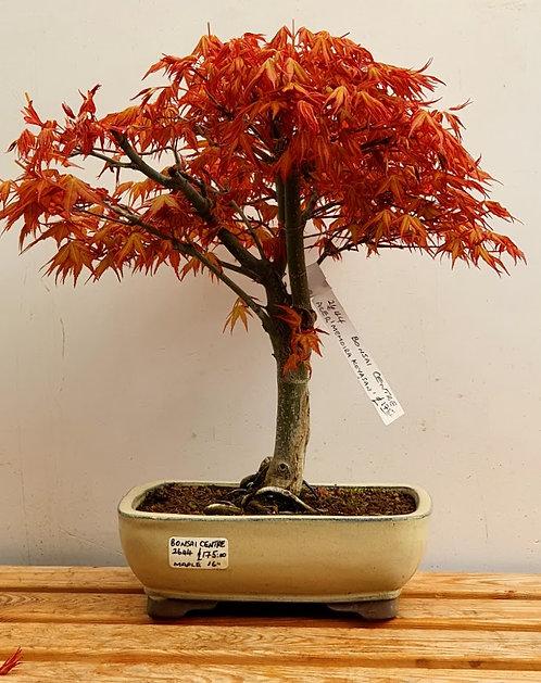 2644 Maple Momoira Koyasan