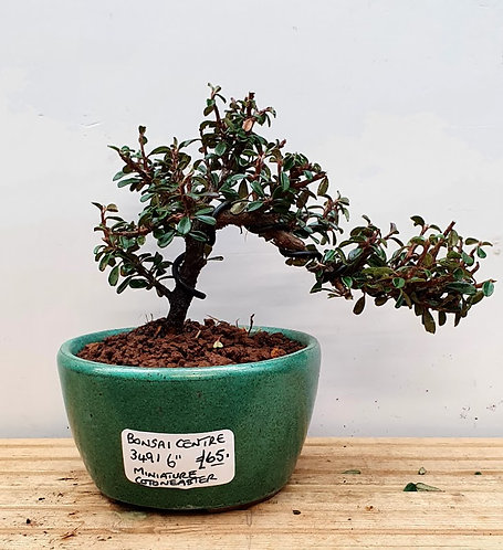 3491 Cotoneaster mycrophylla