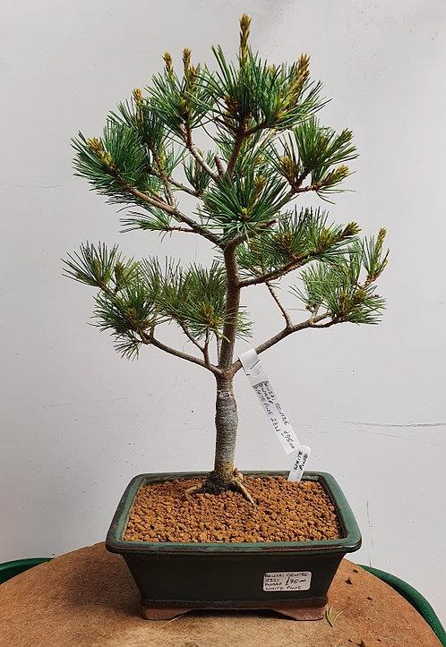 2321 Dwarf Japanese White Pine
