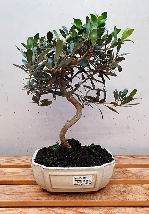 3440 European Olive