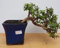 2396 Jade Tree