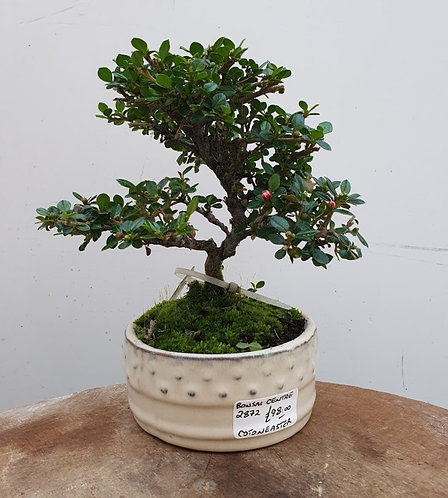 2872 Cotoneaster