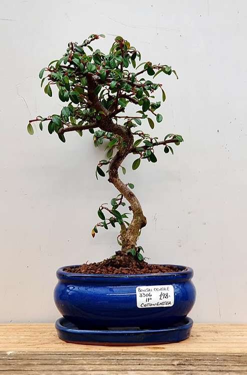 3306 Cotoneaster