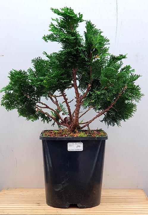 3322 Hinoki Cypress