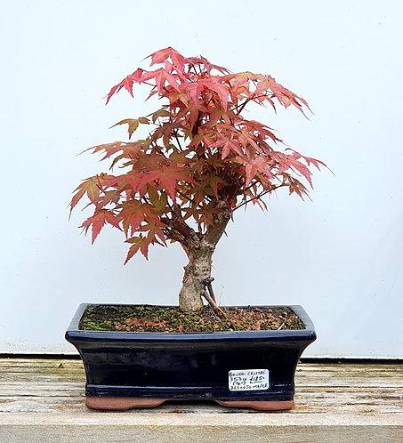 3534 Deshojo Maple