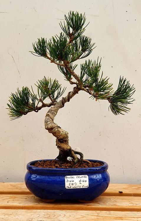 3146 Japanese White Pine