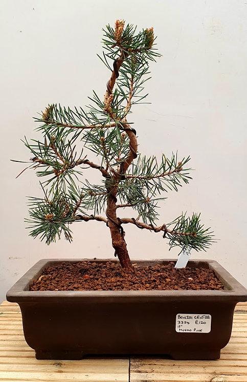 3324 Mugho Pine