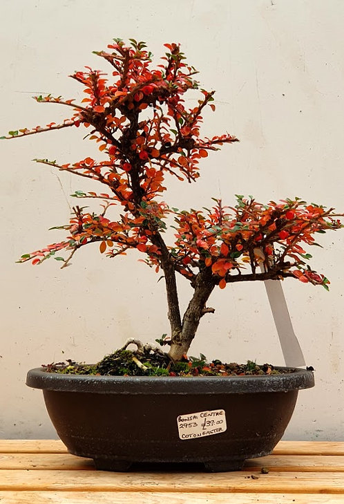 2953 Cotoneaster