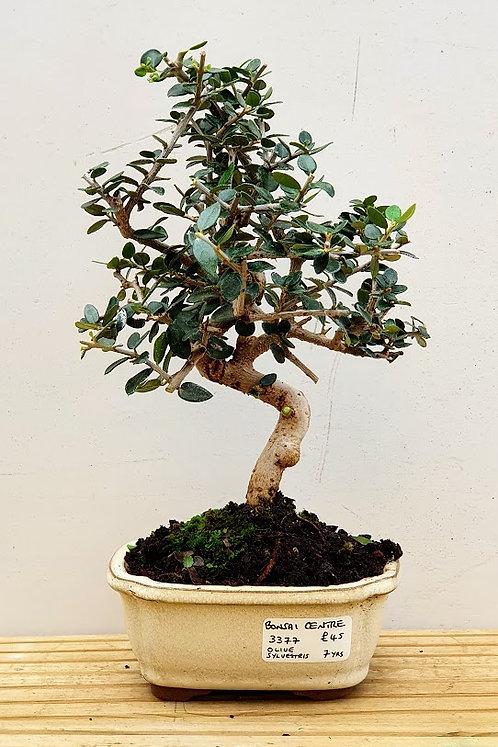 3377 Olive sylvestris
