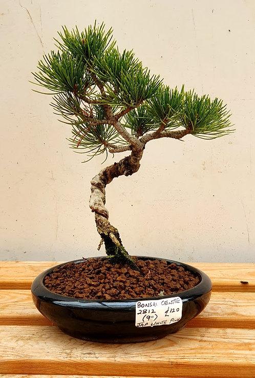 2812 Japanese White Pine