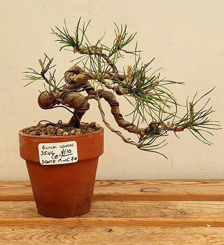 3546 Scots Pine