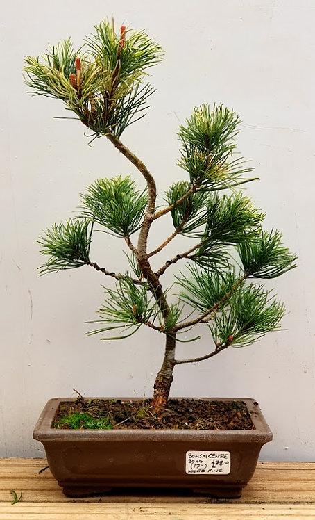 3046 White Pine