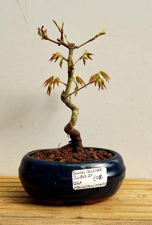 3480 Japanese Mountain Maple