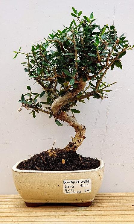 3373 Olive sylvestris