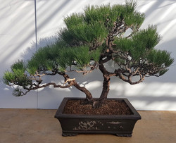 2752 Black Pine