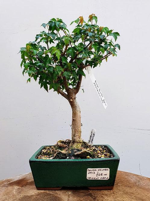 2913 Trident Maple
