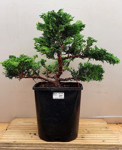 3321 Hinoki Cypress