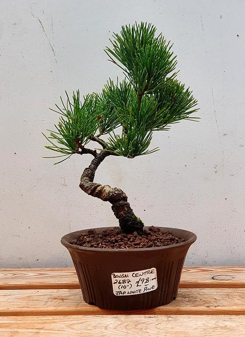 2687 Japanese White Pine