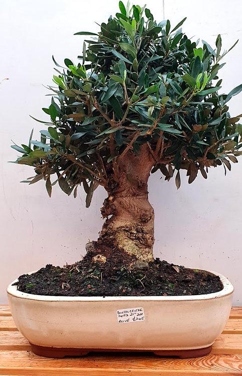 3452 European Olive