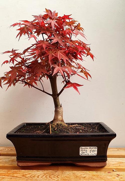 3532 Deshojo Maple