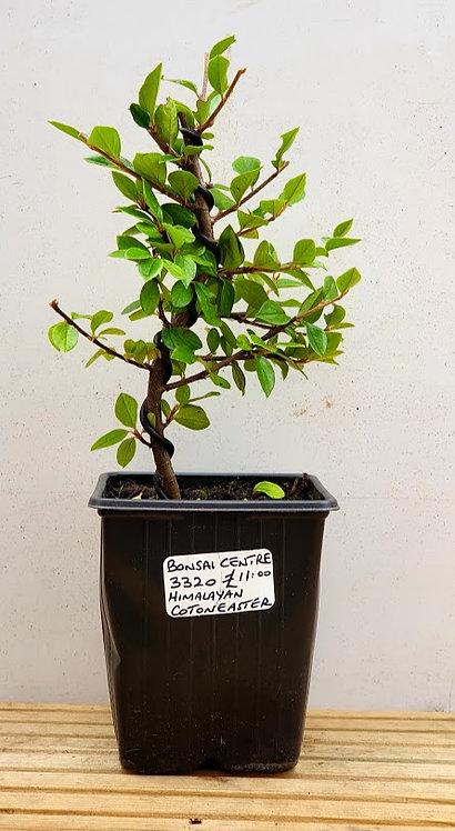 3320 Himalayan Cotoneaster