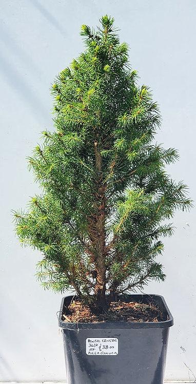 3637 Picea