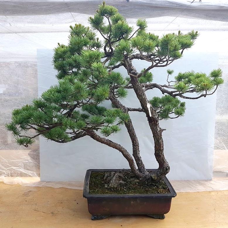 2807 Japanese White Pine