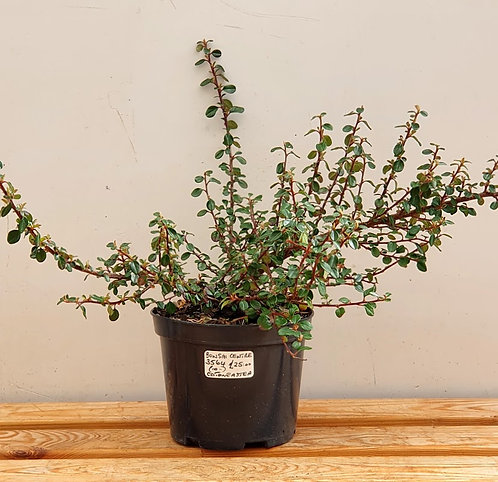 3564 Cotoneaster