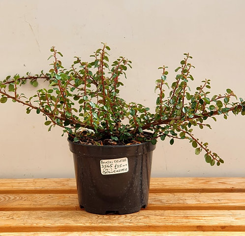 3565 Cotoneaster