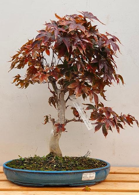 2791 Nomura Maple