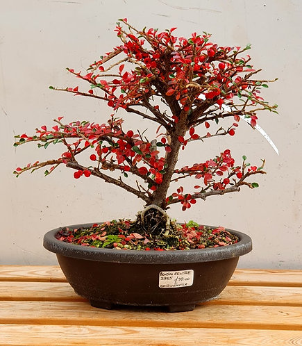 2955 Cotoneaster