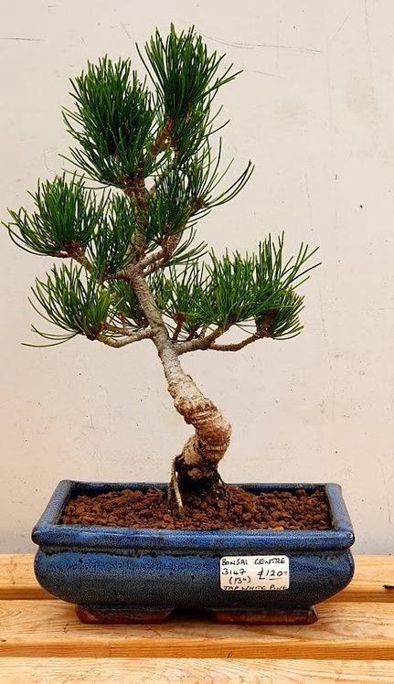 3147 Japanese White Pine