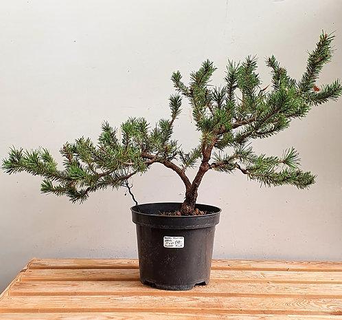2833 Dwarf Pine