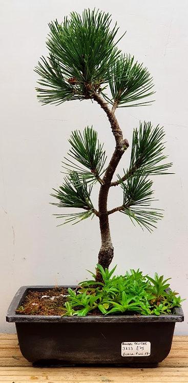 3253 Black Pine