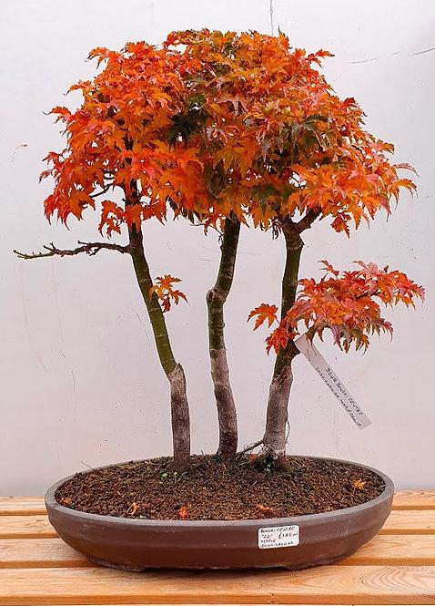 3248 Shishigashira Maple