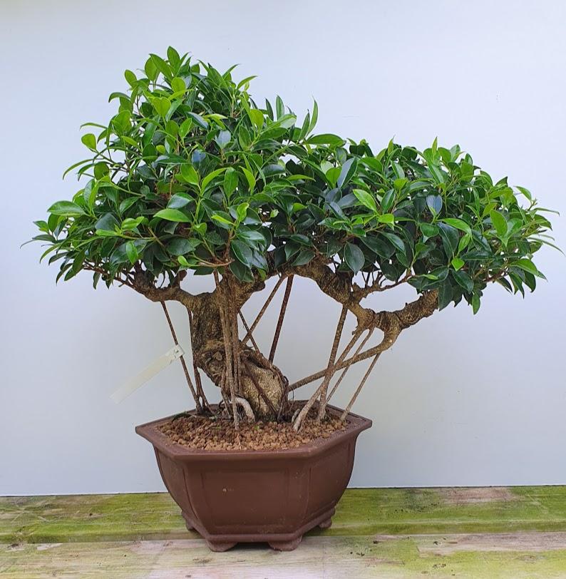 2654 Ficus