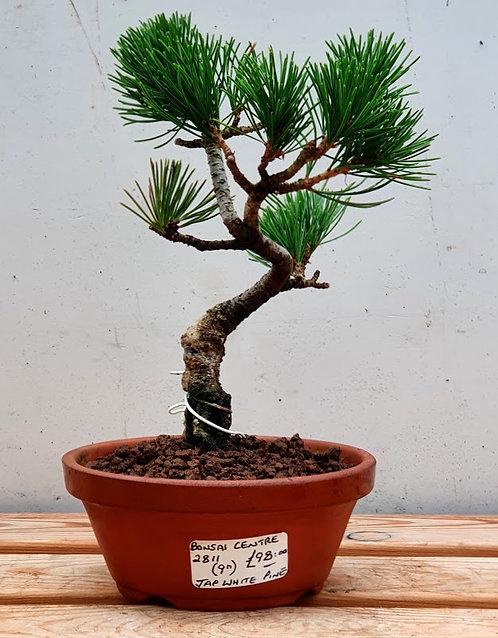 2811 Japanese White Pine